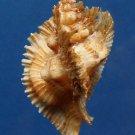 B313 20733  Pterynotus miyokoae 58 mm