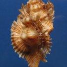 B313 20734  Pterynotus miyokoae 68 mm