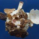 10292 Pallid Carrier Shell Xenophora pallidula 95 mm