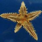 B315 20795  Astropecten polyacanthus 31 mm