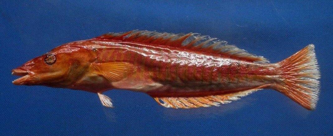 75515 Pastel ringwrasse- Hologymnosus doliatus, 270 mm