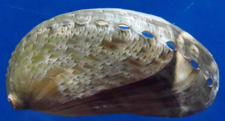 10307 Ass's-ear abalone Haliotis asinina 75 mm, extra large