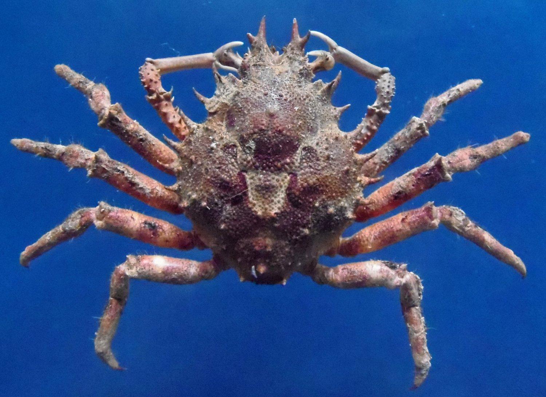 10319 Common Decorator Crab Schizophrys aspera 39 mm