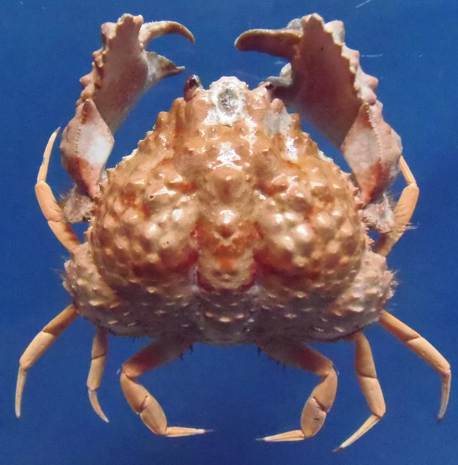sold to andalloyd 10325 Box Crab Calappa capellonis 50 mm
