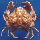 10325 Box Crab Calappa capellonis 50 mm