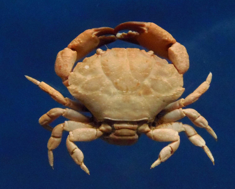 20865  Leptodius sanguineus 21 mm