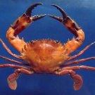 31058 Swimming crab Charybdis hellerii 70 mm