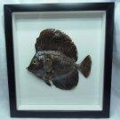 Real Frame Sailfin Tang Zebrasoma velifer Fish Taxidermy Oddities