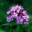 Valerian officinalis e.o. (15 ml, 1/2 oz)