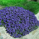 100  seeds  Rare Creeping Thyme Rock Cress Perennial Ground cover Plant