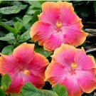 20  seeds   rare Hibiscus Rosa sinensis Perennial flowers plants