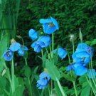 100  seeds rare   Corn Poppy Blue Sky Blue Purple Perennial    Flowers plants