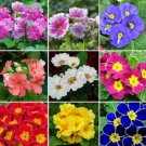 30  Seeds new rare Mixed 9 Types of Evening Primrose flowers   plants