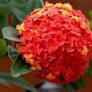 15  Seeds new rare Red Hydrangea Mother garden  flowers  plants