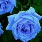 400  seeds  rare  Fresh Blue Rose Shrub  Flower plants