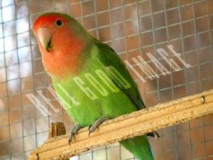 Peachface Lovebird FRAMED