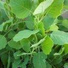 Papalo, Quillina or Killi Porophyllum coloratum Papaloquelite, Bolivian coriander seeds