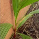 1 Year Old Mexican Fan Palm Tree Seedling