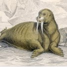 Antique Nature Engraving Ca.1838 Wm Jardine - Walrus