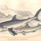 Antique Nature Engraving Ca.1838 Wm Jardine - Sharks
