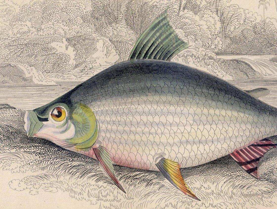 Antique Nature Engraving Ca.1838 by Jardine - Salmon Carp