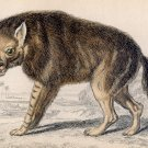 Antique Nature Engraving Ca.1838 Wm Jardine - Brown Hyena