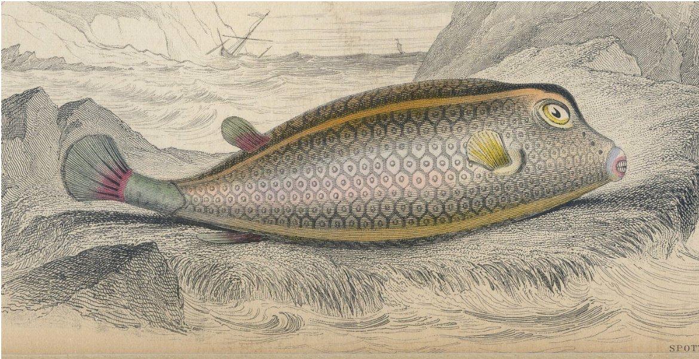 Antique Nature Engraving Ca.1838 Wm Jardine - Fish - Spotted Ostracion