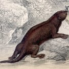 Antique Nature Engraving Ca.1838 by Jardine - Common Otter