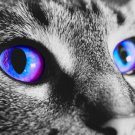 Violet Blue Cat Eyes 5 x 7 Photograph Print