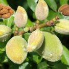 Almond Seed (Prunus Dilcus) 10 Fresh Seeds