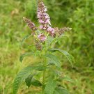 Horse Mint (Mentha Longifolia) 100++ Fresh Seeds