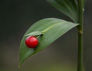 RUSCACEAE (Ruscus hypoglossum) 20 Fresh Seeds