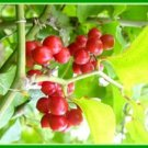 SARSAPARILLA (Smilax excelsa) 30 FRESH SEEDS