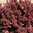 Red Barberry (Berberis thunbergii atropurpurea) 30 Fresh Seeds