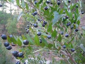 MYRTUS (MYRTLE) TREE FRESH 50 SEEDS