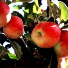 AMASYA APPLE 30 FRESH SEEDS