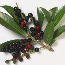 Cherry Laurel Tree (Prunus laurocerasus) 20 Fresh Seeds