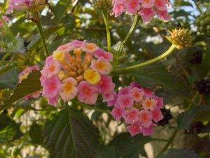 LANTANA CAMARA (Pink-Yellow) 30 FRESH SEEDS