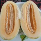 BRANKO MELON (SPAIN MELON) 50 FRESH SEEDS