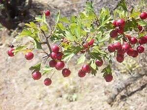 Single-Seeded Hawthorn Tree (Crataegus monogyna) 10 Fresh Seeds (Wild)