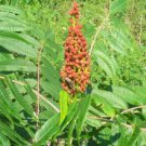 SUMACH (RHUS CORIARIA) 100 FRESH SEEDS
