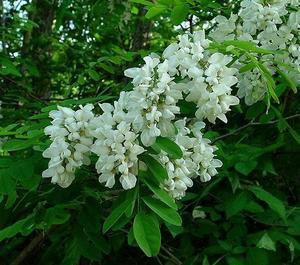 WHITE LOCUST TREE (Robinia Pseudoacacia) FRESH 50 FRESH SEEDS