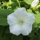 Calystegia sepium 20 Seeds (Wild)
