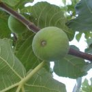 AUTUMN GREEN FIG 3 PCS FRESH CUTTINGS