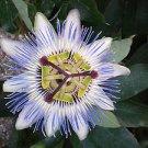 Passiflora caerulea (Blue Passion Flower) 25++ Seeds