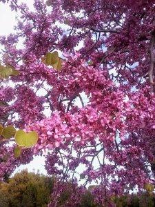 JUDAS TREE (CERCIS SILIQUASTRUM) 25 FRESH SEEDS