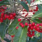 CORALBERRY (Ardisia crenata) 30 FRESH SEEDS