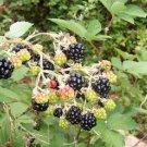 ANATOLIAN WILD BLACKBERRY 100 FRESH SEED