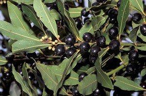 Laurus nobilis - Sweet Bay Laurel Tree, 3 Fresh Cuttigss (Daphne - Bay Tree)