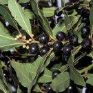 Laurus nobilis - Sweet Bay Laurel Tree, 10 Fresh Seeds (Daphne - Bay Tree)